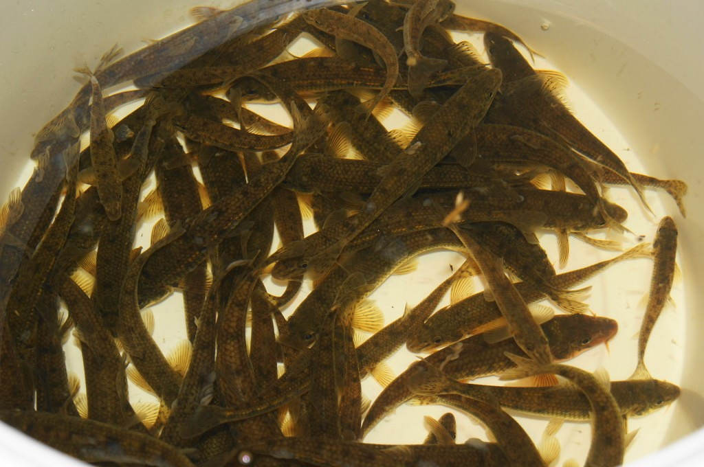 Пескарь - лучшая наживка не только для щуки и судака, но и для налима.