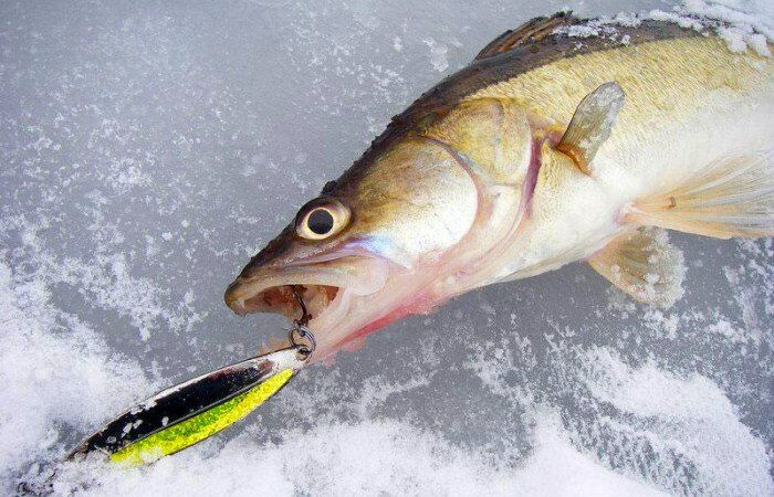 Зимняя удочка для блеснения. Как правильно блеснить хищную рыбу зимой?!