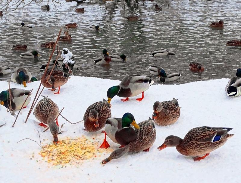 chem-mozhno-kormit-raznyh-ptits-zimoj-v-karmushkah-foto-kormlenie-utok-zimoj