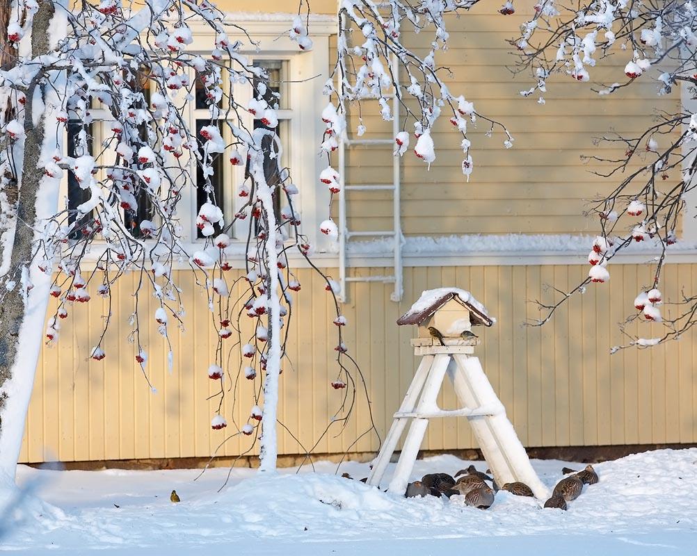 Куропатки зимой у кормушки