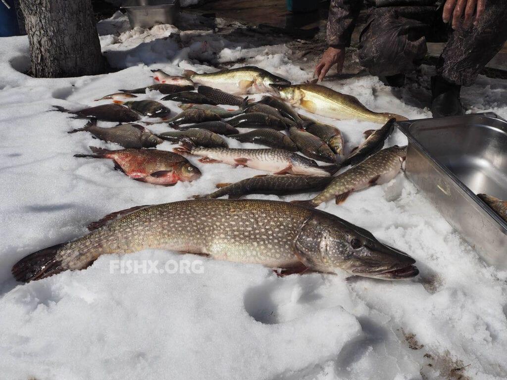 Ловля щуки на жерлицы по последнему льду на озерах