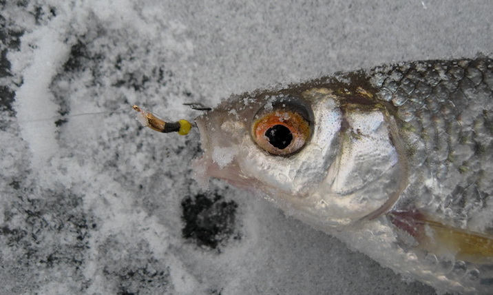 Плотва пойманная на козу подо льдом