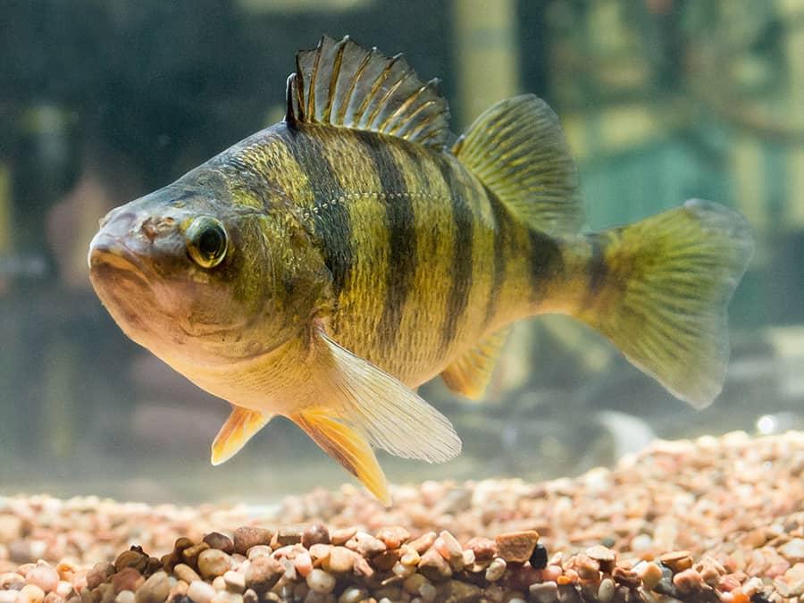 Окунь - описание речной и морской рыбы