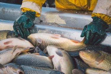 Чем рыба, выращенная искусственно, отличается от дикой? рис-3