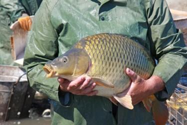 Чем рыба, выращенная искусственно, отличается от дикой? рис-2