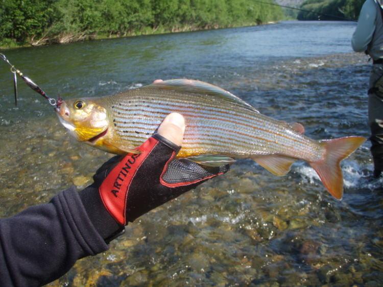 Хариус в руках рыбака