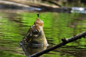 Карась пойманный на мормышку в летнее время