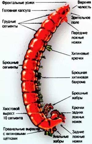 строение тела мотыля