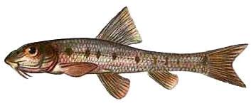 Рыба пескарь.
