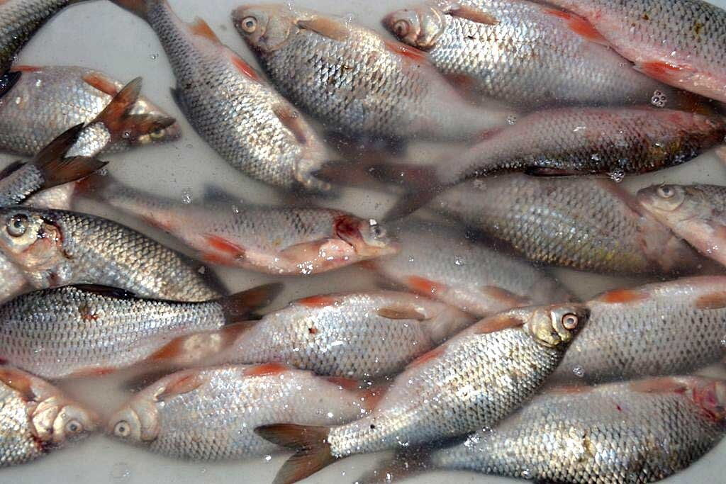 Рыба на отмачивании