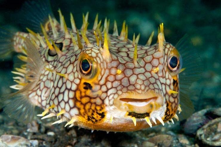 рыба ерш колючий