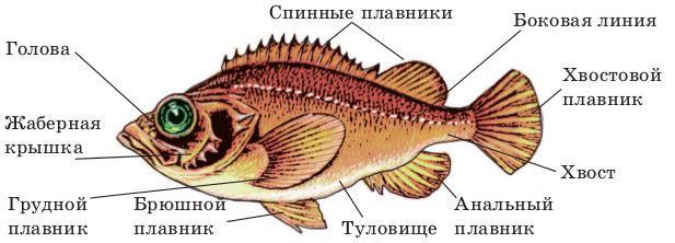 Внешнее строение рыбы рисунок