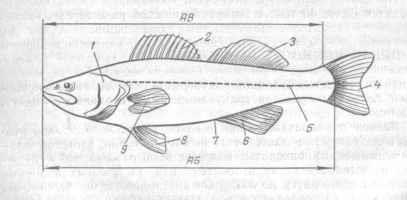 Рис. 20. Схема строения рыбы (судака)