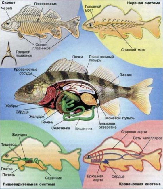 внутреннее строение рыбы рисунок