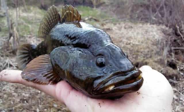 Рыба ротан