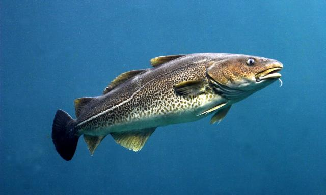 какие снасти нужны для ловли трески в Баренцевом море