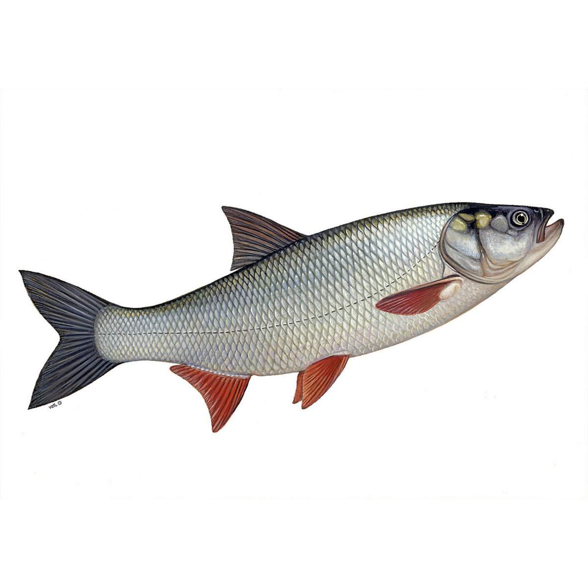 Жерех - рыба-хищница.