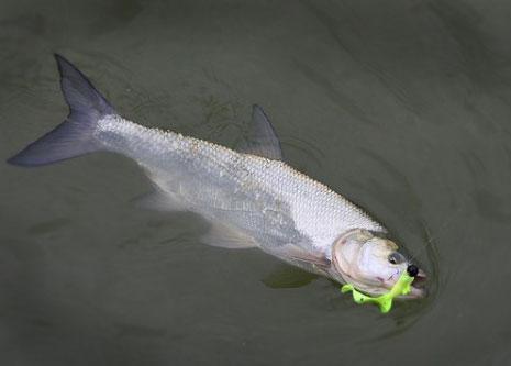 жерех рыбалка