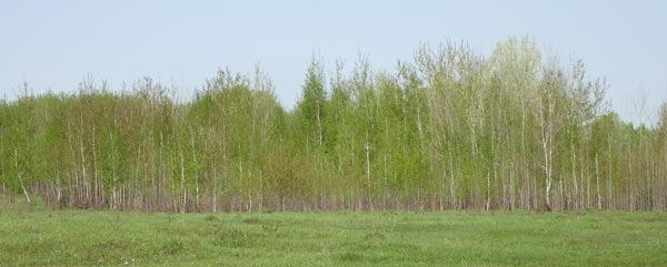 Молодая зелень березняка